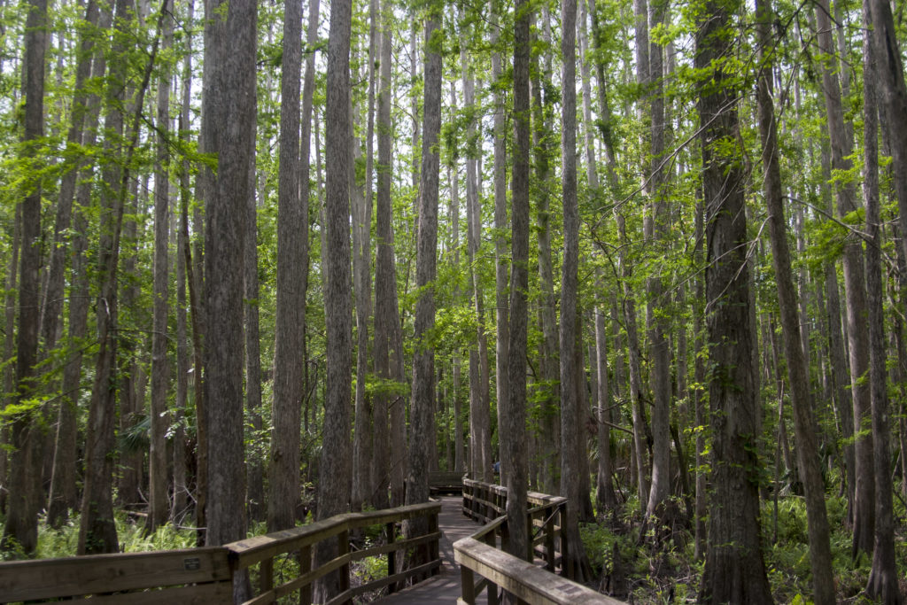 Entering the cypress swamp