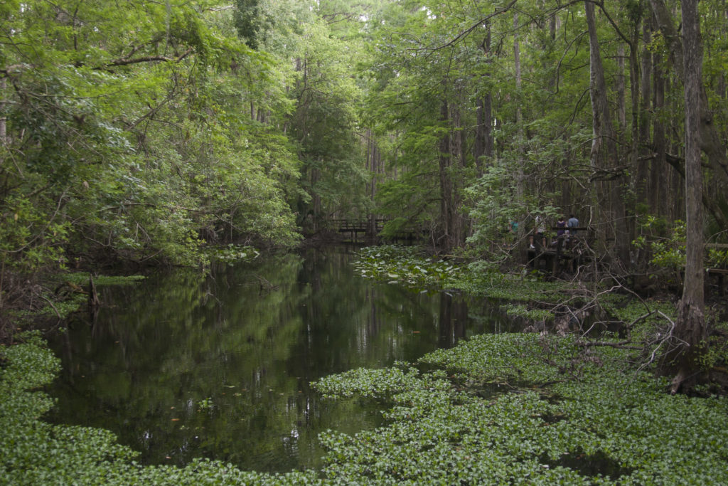 The cypress swamp