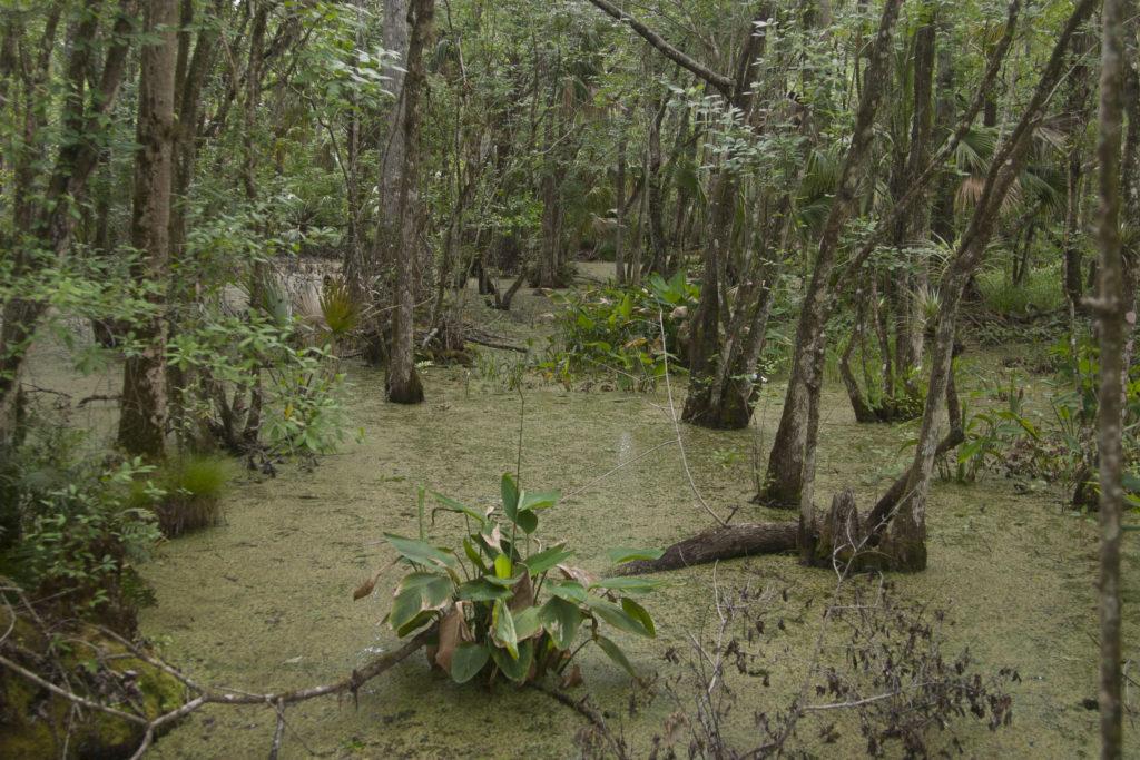 Swamp along the Fern Garden Trail.