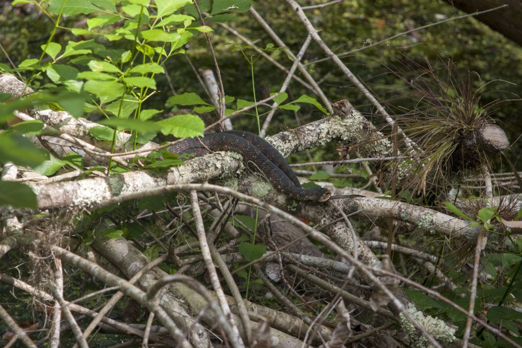 A Florida banded water snake sunning along the Fern Garden Trail